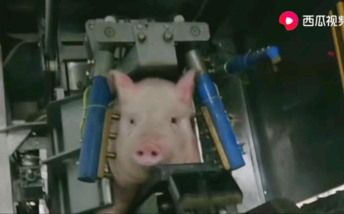笑着走完猪生