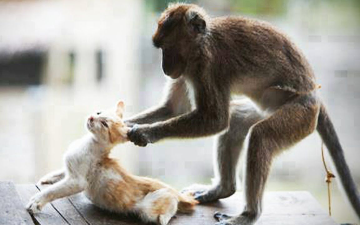 猫咪视频_猴子vs猫的视频集锦