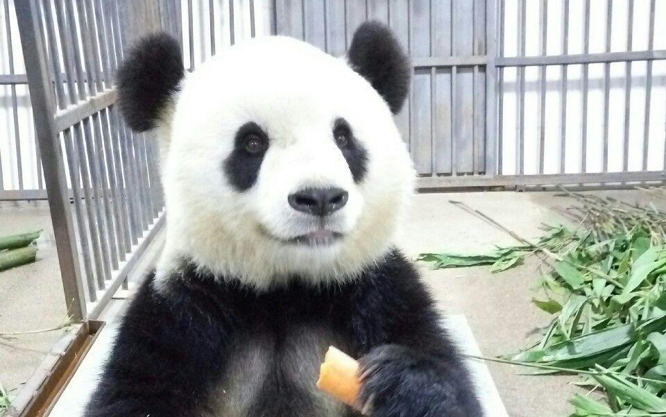 【大熊猫】思嘉吃竹子