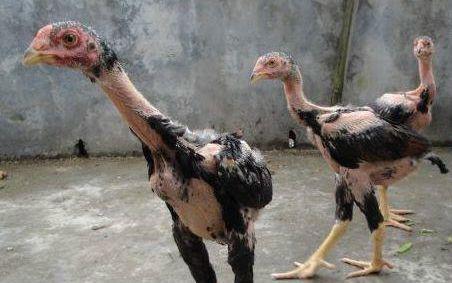 萌音正太与两只鸡的愉♂悦下载大炮8.22日v大炮实况体操女迅雷嬉戏图片