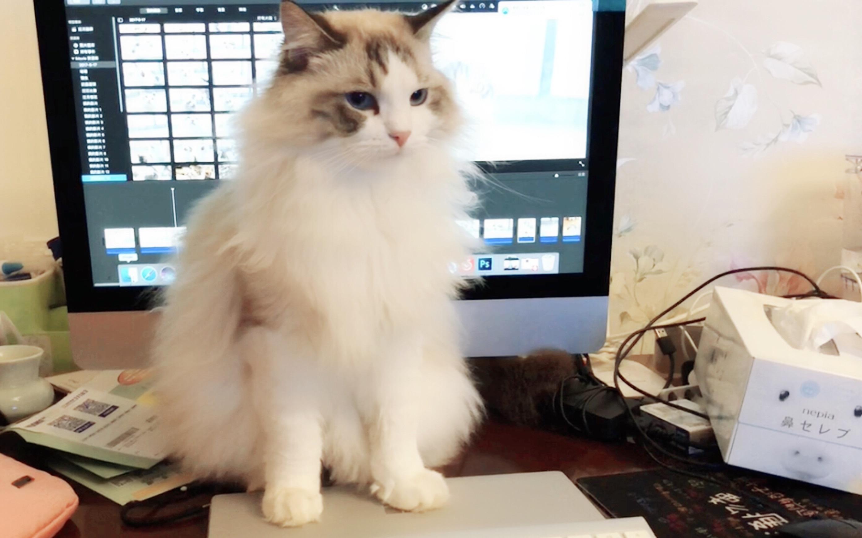 猫咪视频_猫咪为防止主人将老婆隐私泄露给网友竟百般阻挠其修剪视频