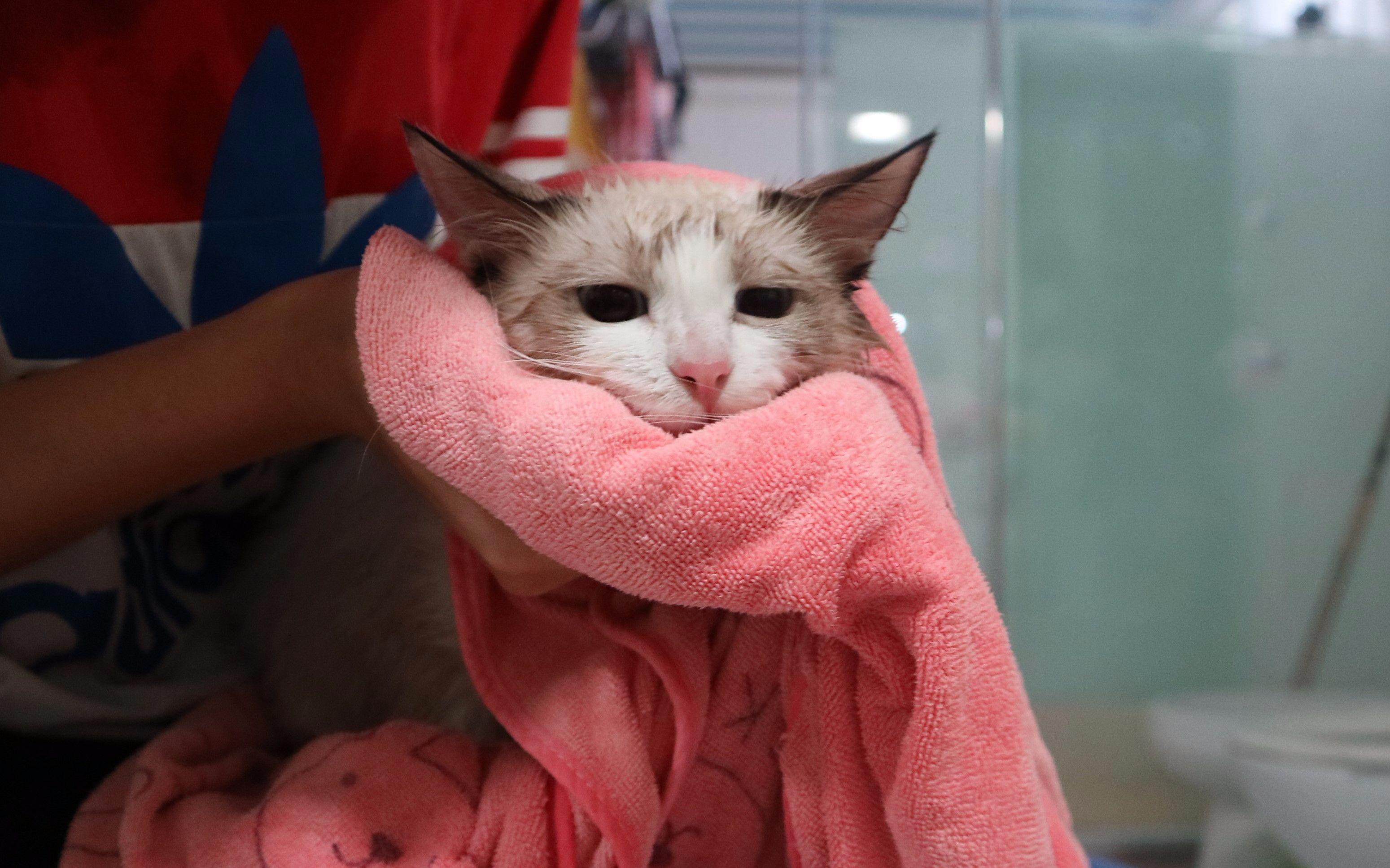 【布偶猫】猫咪第二次洗澡,竟然要上天!