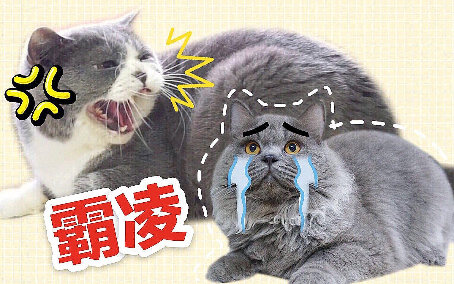 陌生猫突然闯进家里,三只原住民暴怒场面一度失控!