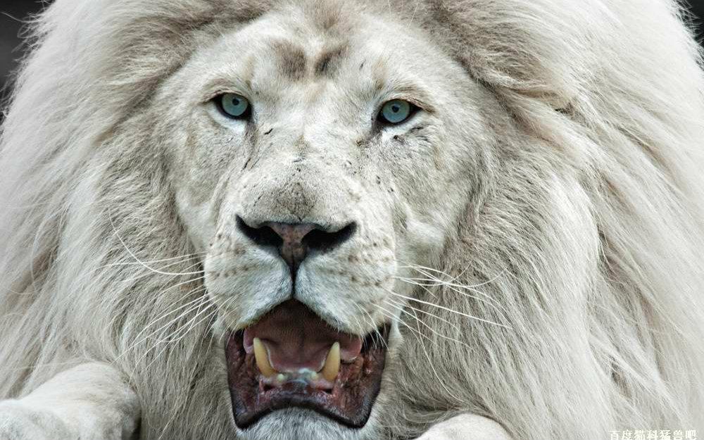 珍稀白狮王