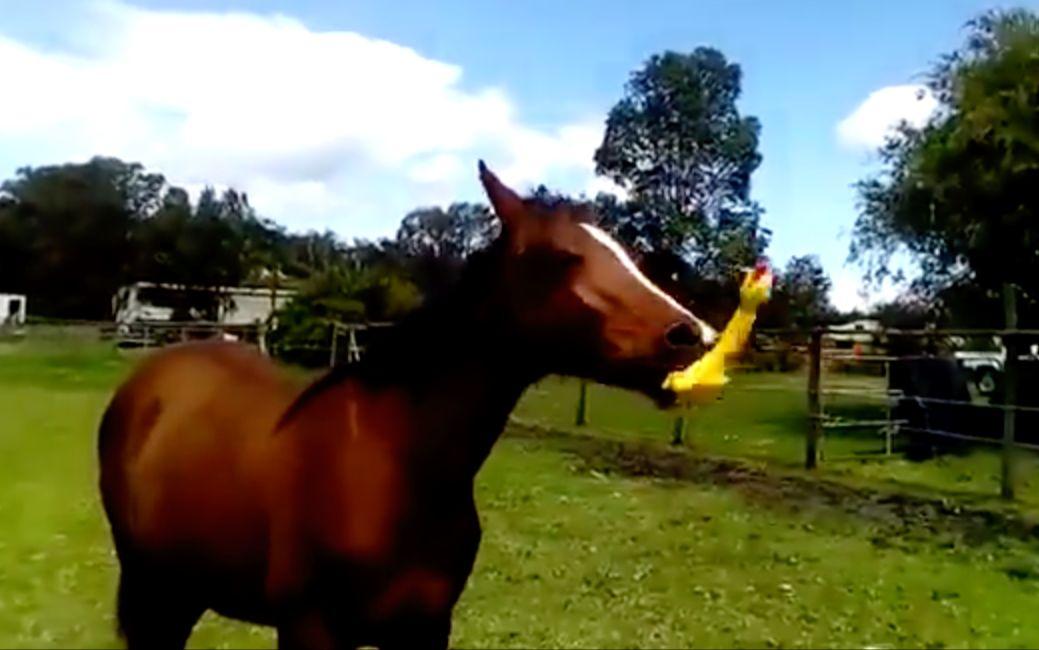 他们给马一只惨叫鸡,结果笑的肚子痛根本停不下来!