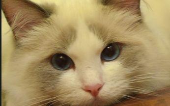 猫咪视频_有一只无敌爱吃的布偶猫是一种怎样的体验【久妹超萌日常视频合集】