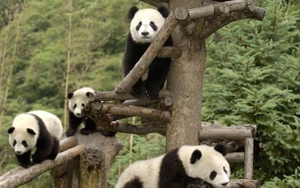 20161006耿达幼儿园幼崽们玩耍吃笋吃竹子