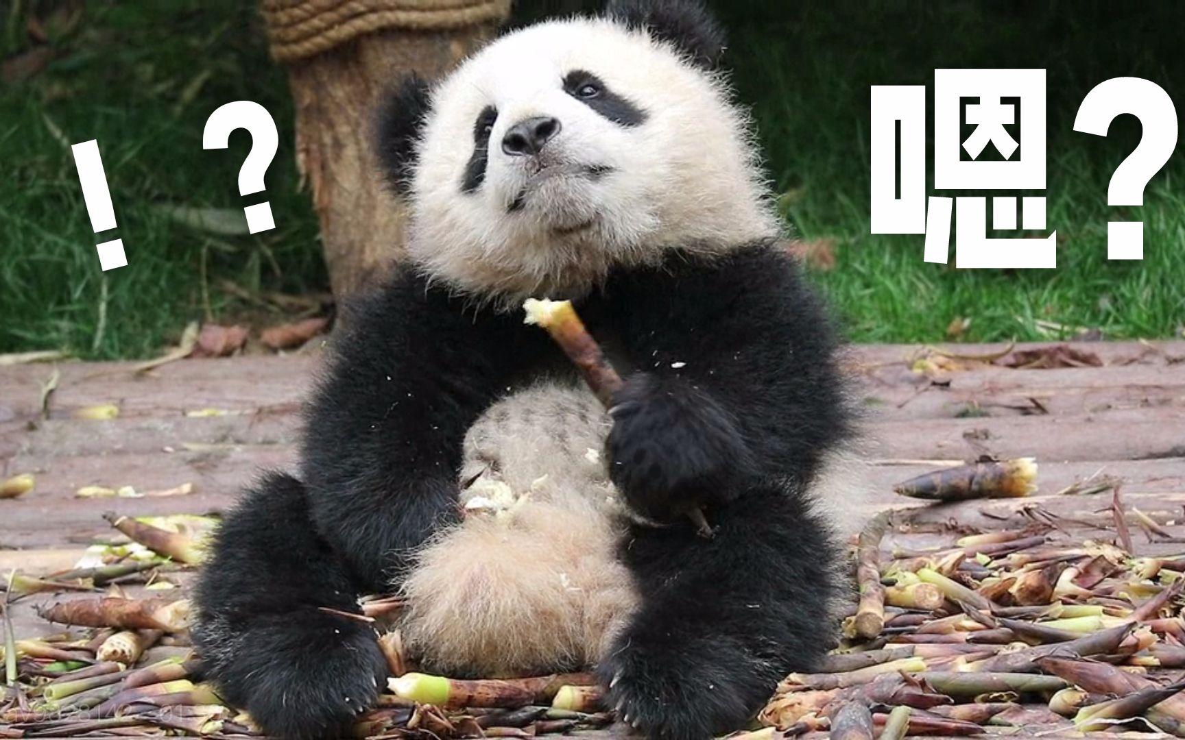 大熊猫 奇一小时候呆萌吃笋 超可爱! ipanda录屏