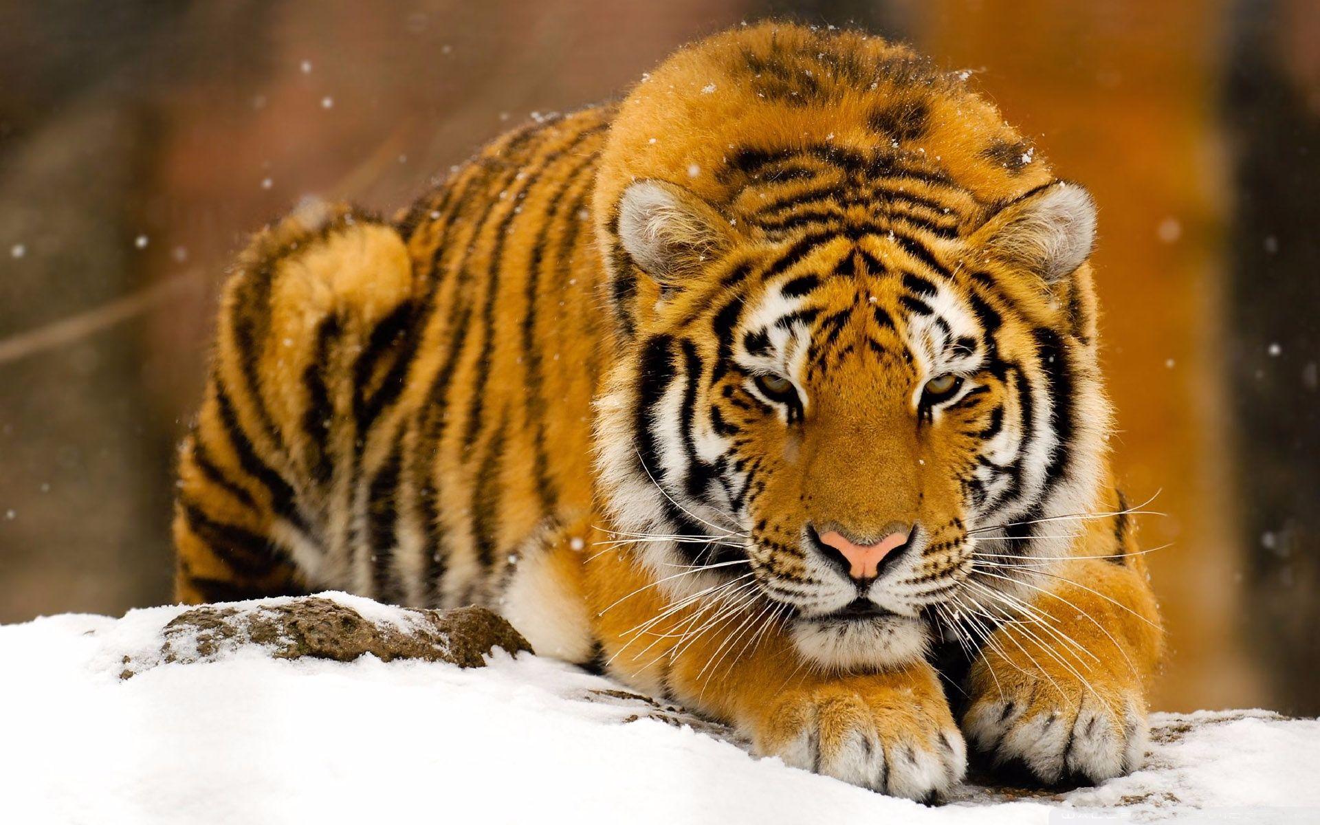 tiger)是世界上最大的猫科动物