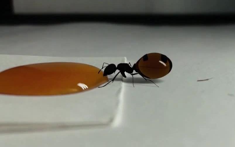【一口吃成个胖子】蚂蚁蚂蚁吃的都比你好 - 捕捉蚁后