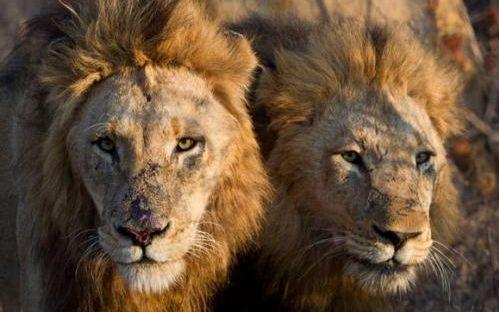保卫者雄狮和它们的五个孩子猎杀野牛