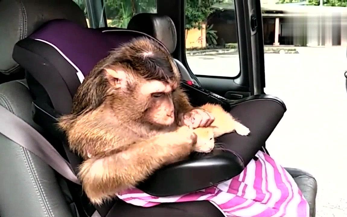 好有爱心的小猴子,为流浪小猫咪捉虱子!