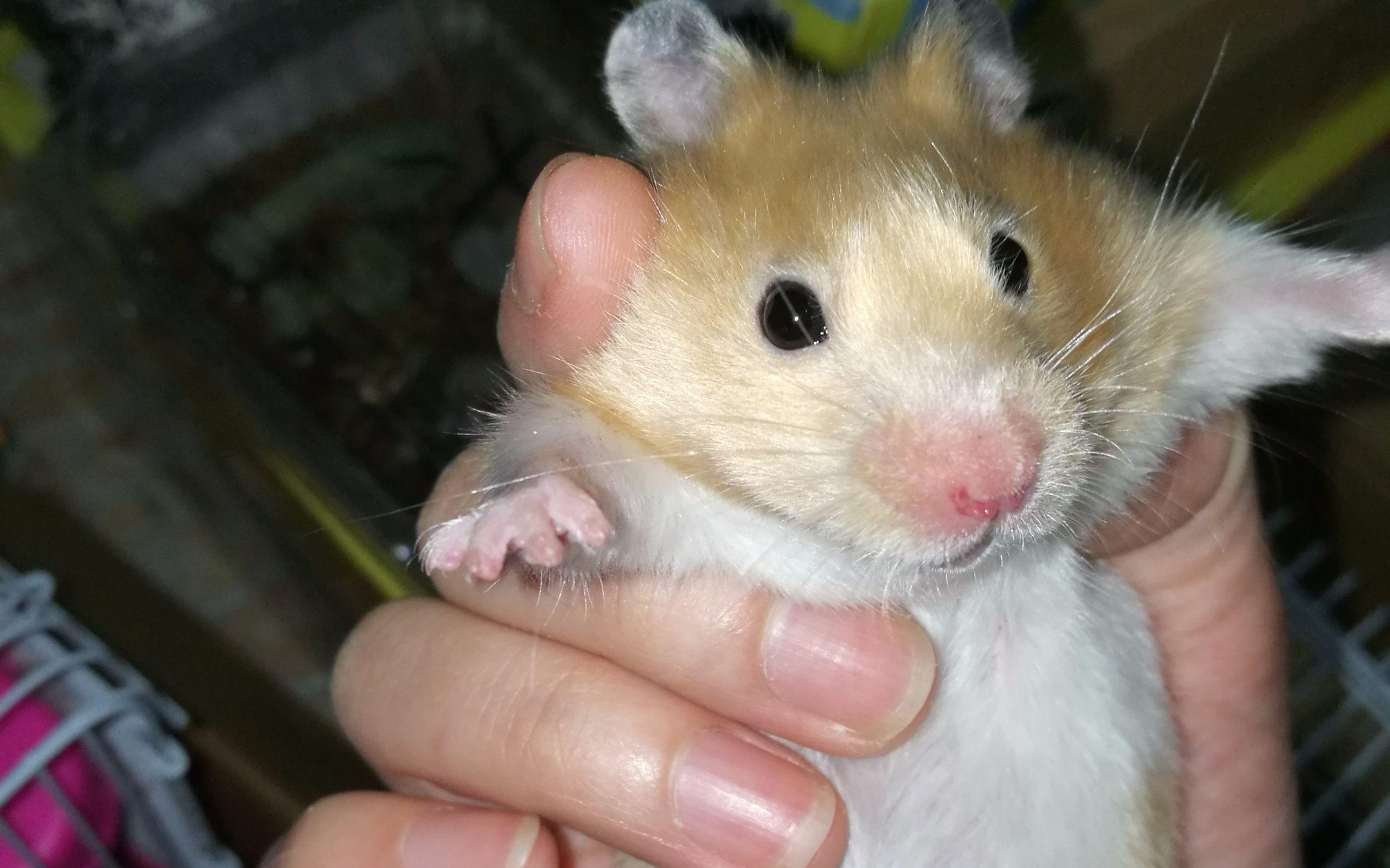 仓鼠宝宝吃东西