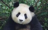 【大熊猫】娇淼淼不回家,要谭爸抱抱回去20140224