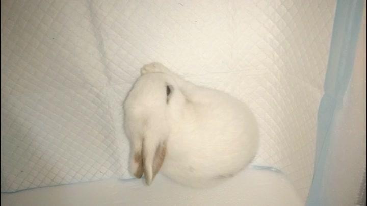 【小萌兔】舔毛毛