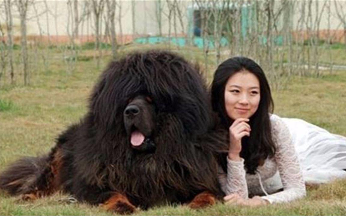 中国最大的藏獒王_世界最大藏獒王,重460斤身价3000万,你敢养吗?