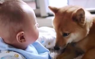 这8段狗狗照顾小主人的短片,实在是太温暖太可爱了