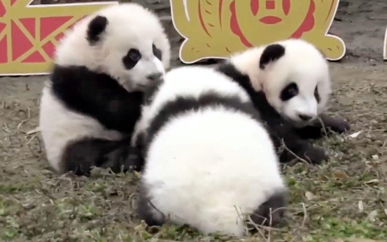 放下后都跑了就三个懵宝宝不知所措被围观(中心大熊猫)