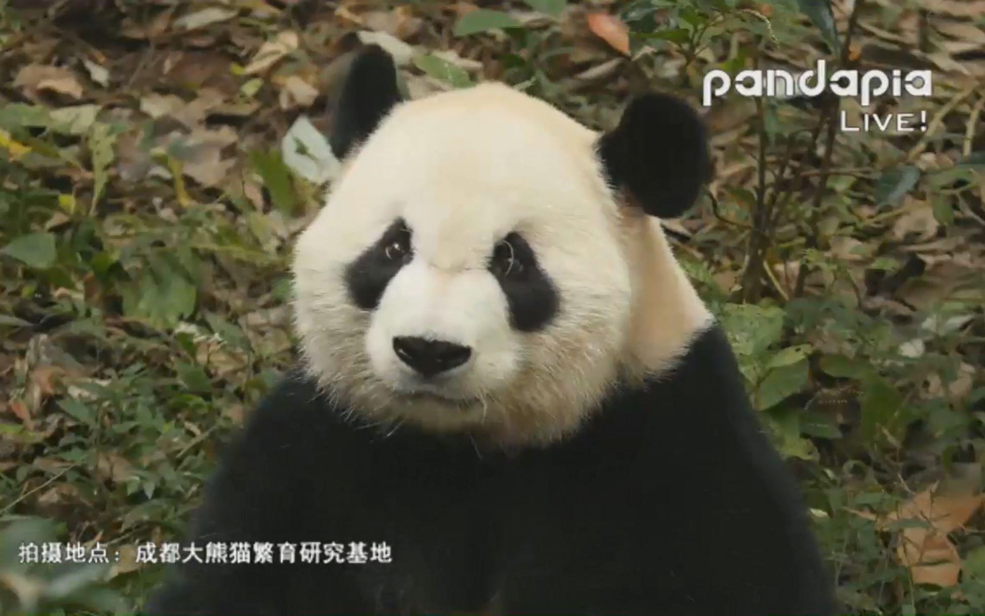 壁纸 大熊猫 动物 1944_1215