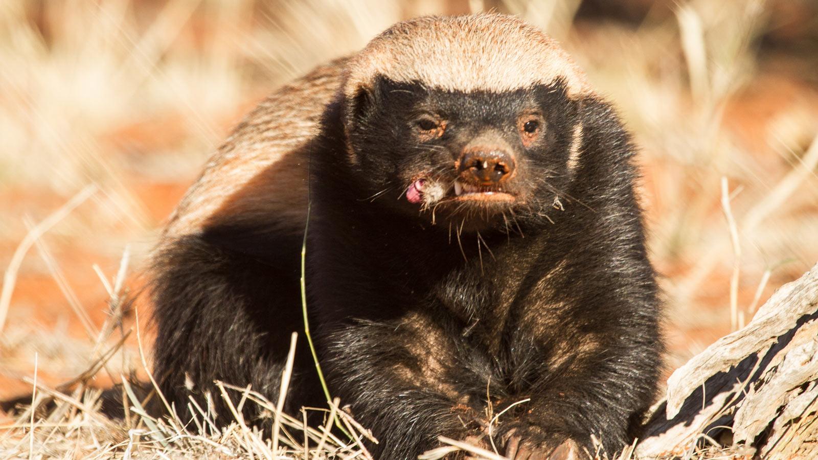 蜜獾的全部相关视频 bilibili 哔哩哔哩弹幕视频网