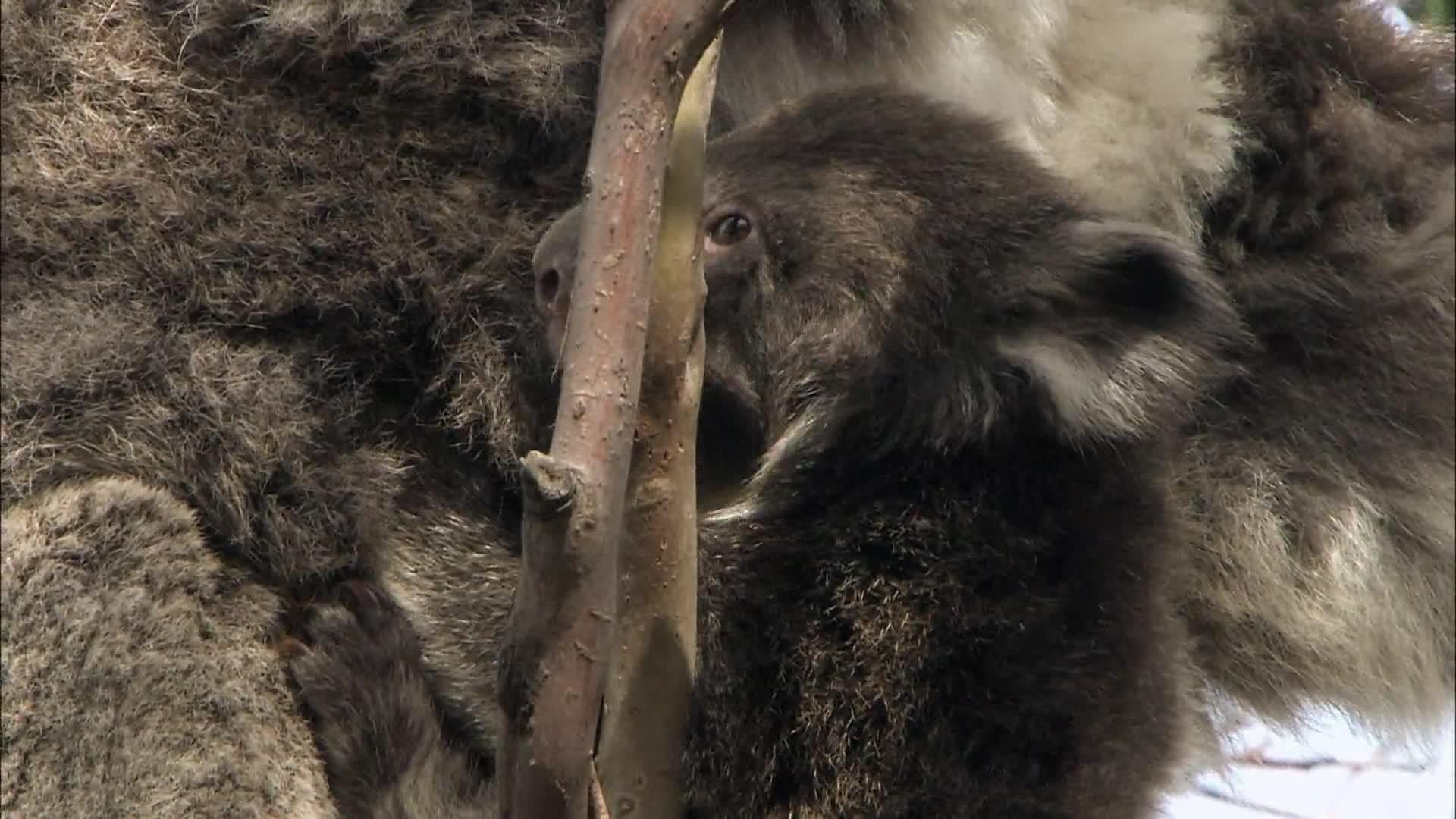 野生动物 无与伦比的有袋动物 树袋熊