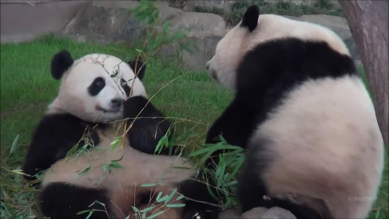 WWW_377UU_COM_中国 大熊猫备受日本观众喜爱 日本希望再租借,图片尺寸:600×377