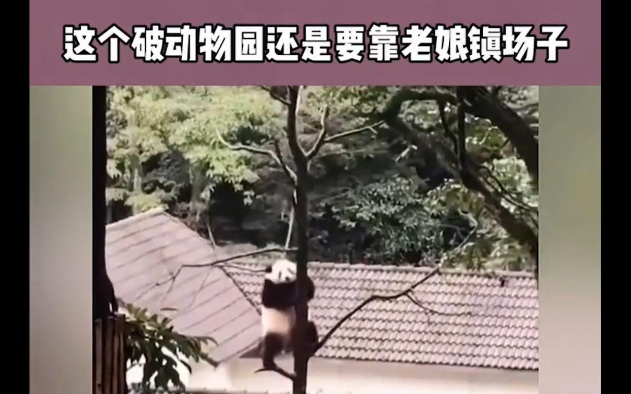 一只会跳钢管舞的大熊猫