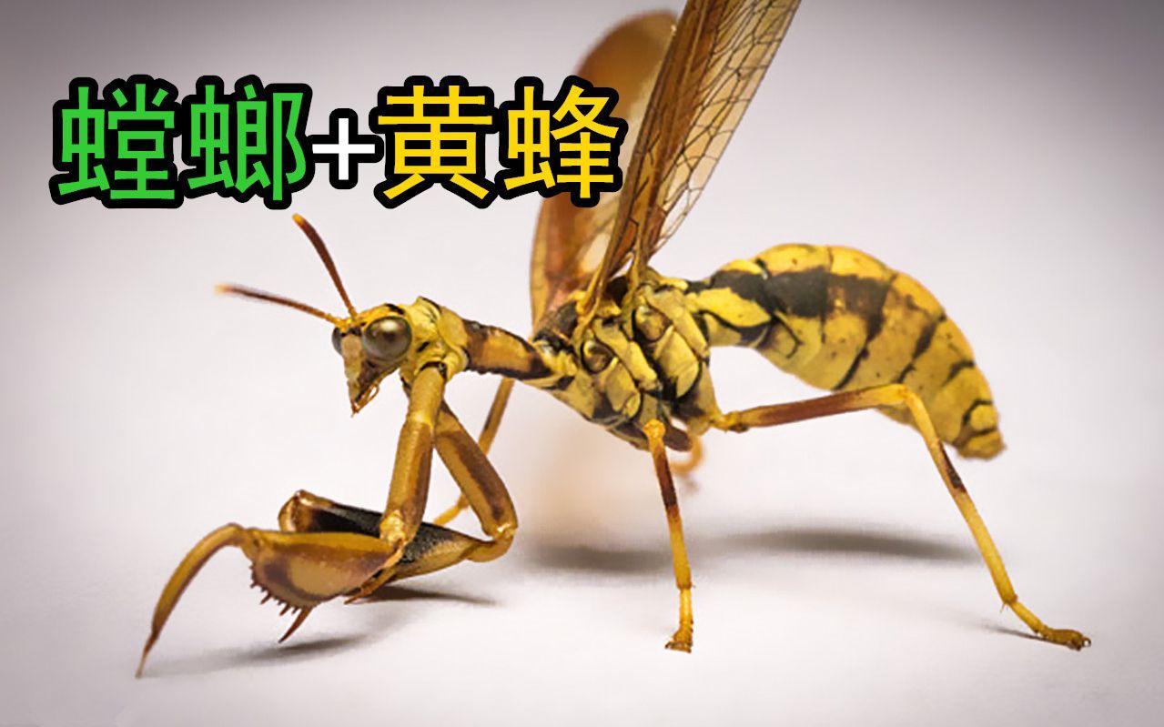 抄王_【脉翅目系列3】螳蛉:螳螂和黄蜂结合的怪物?进化史上重大抄 ...