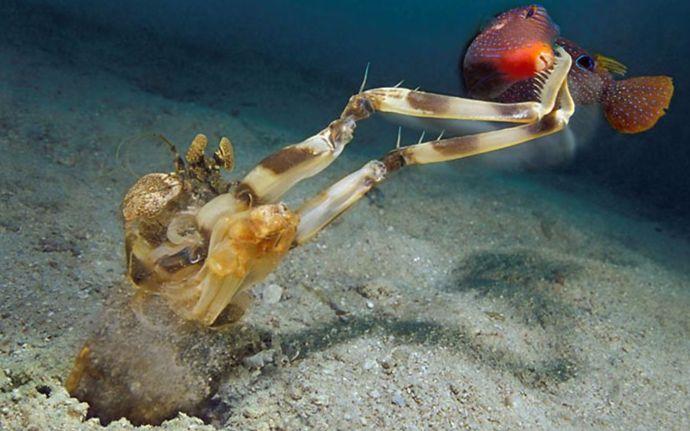 """海洋传奇国语_【CCTV9记录片】《极速猎杀》之""""黑暗潟湖""""节选——斑琴虾蛄 ..."""