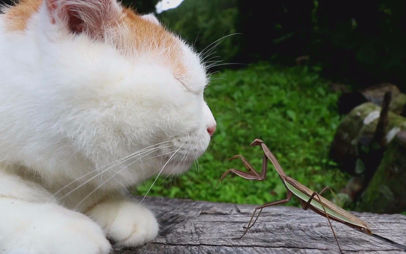 wwwa片con_vs螳螂,稳如泰山,图片尺寸:1728×1080,来自网页:http://www.